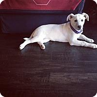 Adopt A Pet :: Clover - oklahoma city, OK