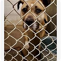 Adopt A Pet :: Cocoa - Urgent! - Zanesville, OH