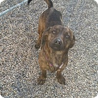 Adopt A Pet :: Primrose 'Rosie' - Mukwonago, WI