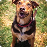 Adopt A Pet :: Brownie - Aubrey, TX