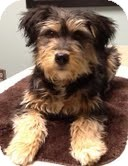 Yorkie, Yorkshire Terrier/Schnauzer (Miniature) Mix Dog for adoption in Boulder, Colorado - Ava