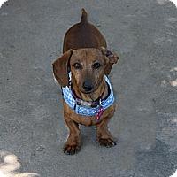 Adopt A Pet :: Calvin - Louisville, CO