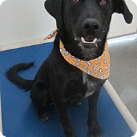 Labrador Retriever/Border Collie Mix Dog for adoption in Holton, Kansas - Raven
