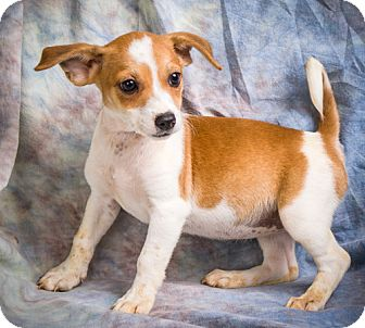 Jack Russell Terrier/Chihuahua Mix Puppy for adoption in Anna, Illinois - JOBY