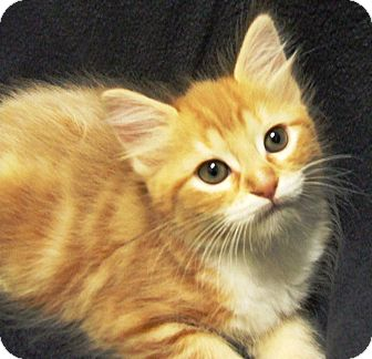 Domestic Mediumhair Kitten for adoption in Watauga, Texas - Sal