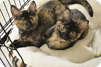 Domestic Shorthair Kitten for adoption in Springfield, Illinois - Fiona