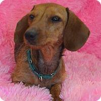 Adopt A Pet :: Mollie-Adoption prnding - Bridgeton, MO