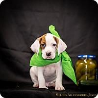 Adopt A Pet :: Gedney - West Orange, NJ