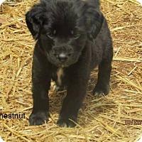 Adopt A Pet :: Chestnut - greenville, SC
