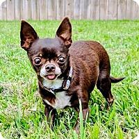 Adopt A Pet :: Anise - AUSTIN, TX