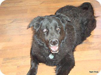 Labrador Retriever Mix Dog for adoption in Scottsdale, Arizona - Blue