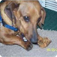 Adopt A Pet :: Stitch - Andrews, TX
