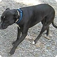 Labrador Retriever/Pit Bull Terrier Mix Dog for adoption in Tahlequah, Oklahoma - Snappy