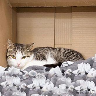 Domestic Mediumhair Cat for adoption in Naperville, Illinois - Bonita