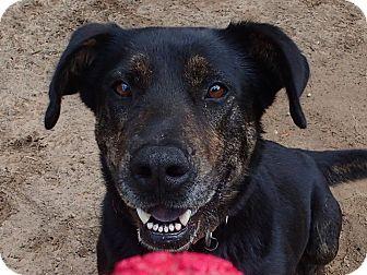 Labrador Retriever Mix Dog for adoption in Ravenel, South Carolina - Buddy II