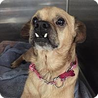 Adopt A Pet :: Little Paul - Arden, NC