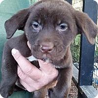 Adopt A Pet :: Caramel - Gainesville, FL