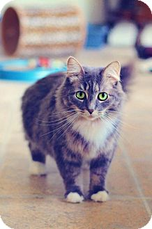 Domestic Longhair Cat for adoption in Markham, Ontario - Fancy