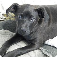 Adopt A Pet :: Lacey - Braintree, MA