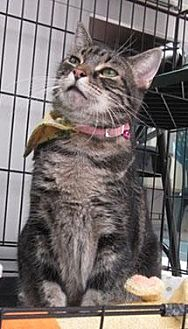 Domestic Shorthair Cat for adoption in Lakewood, Colorado - Nefi