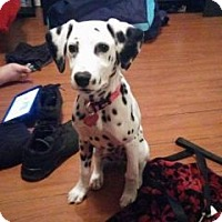 Adopt A Pet :: Harley Quinn - Tampa, FL