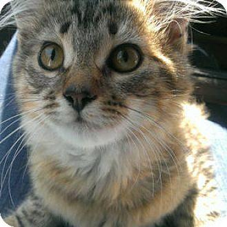 Domestic Mediumhair Kitten for adoption in Verdun, Quebec - Hope