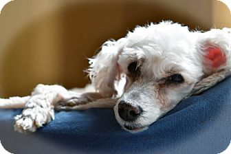 Poodle (Miniature) Mix Dog for adoption in Troy, Michigan - Peter