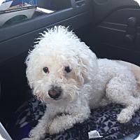 Adopt A Pet :: Zimba, I ROAR! ! - Corona, CA