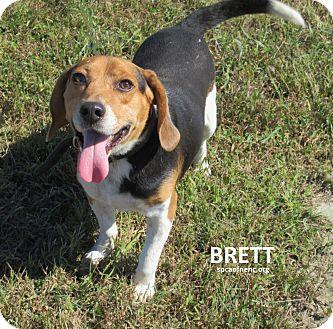 Beagle Dog for adoption in Elizabeth City, North Carolina - Brett