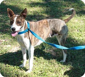 Cattle Dog Mix Dog for adoption in Brattleboro, Vermont - Penelope