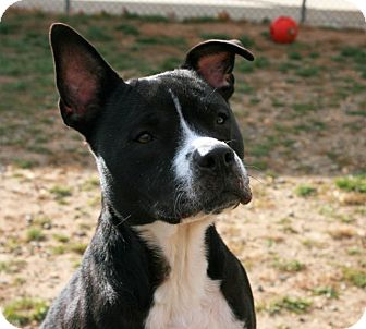 Pit Bull Terrier Mix Dog for adoption in Toms River, New Jersey - Daisy