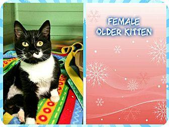 Domestic Shorthair Cat for adoption in Kenansville, North Carolina - TUXEDO KITTEN