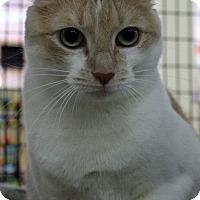 Domestic Shorthair Cat for adoption in Orlando, Florida - Dagobah (CW) 5.10.15