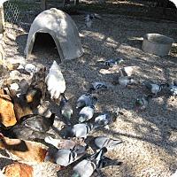 Adopt A Pet :: pigeons (16) - Christmas, FL