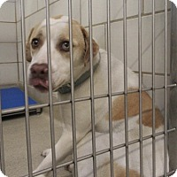 Adopt A Pet :: Spartacus - North Richland Hills, TX