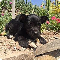 Adopt A Pet :: Mogli and Pantera - San Ysidro, CA