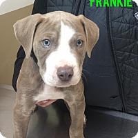 Adopt A Pet :: Frankie - Garden City, MI