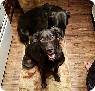 Labrador Retriever Mix Dog for adoption in Groton, Massachusetts - Case & Winston