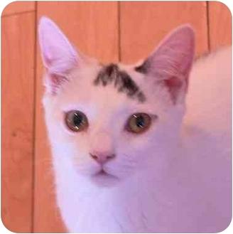 Domestic Shorthair Kitten for adoption in Putnam Valley, New York - Milo