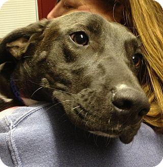 Labrador Retriever Mix Dog for adoption in Richmond, Virginia - Bonnie