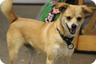 Pomeranian/Chihuahua Mix Dog for adoption in Brattleboro, Vermont - Blondie