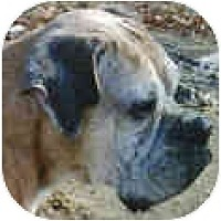 Adopt A Pet :: Ada - Sunderland, MA