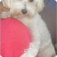 Adopt A Pet :: Sophie - Miami, FL