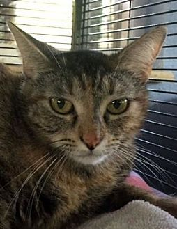 Domestic Shorthair Cat for adoption in Porter, Texas - Faith