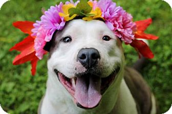 American Bulldog Mix Dog for adoption in Tyrone, Pennsylvania - Xena
