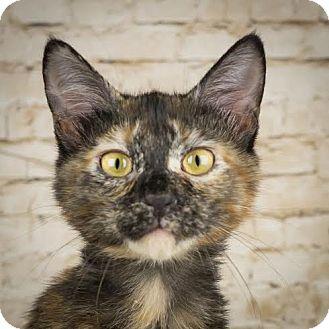 Domestic Shorthair Kitten for adoption in Columbia, Illinois - Libra