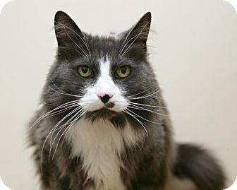 Domestic Mediumhair Cat for adoption in Bellingham, Washington - Sadie