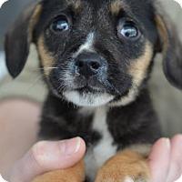 Adopt A Pet :: Edmund - Danbury, CT