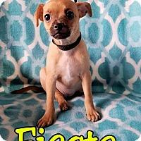 Adopt A Pet :: Fiesta - Hamilton, ON