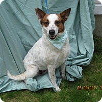 Adopt A Pet :: Holly - Glastonbury, CT